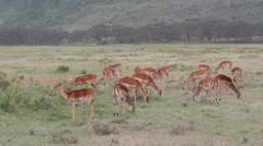 Impala antelopes feeding Stock Footage