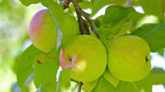 ripe apples on a branch - stock footage