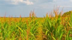 corn field, time-lapse with crane - stock footage