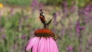 Stock Video Footage of Purple coneflower, echinacea purpurea with pollinators