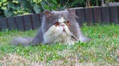 persian cat - stock footage