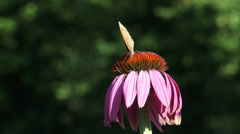 Meadow brown butterfly on echinacea purpurea, wings closed - side view Stock Footage