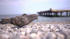 Bird pecking crumbs on the sea pebbles Stock Footage