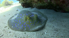 Blue Spotted stingray under the coral reef Stock Footage