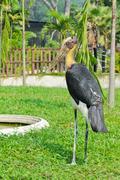 lesser adjutant bird - stock photo
