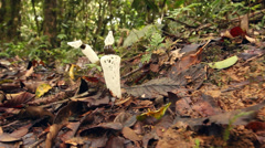 The Strangled Stinkhorn (Staheliomyces cinctus) - stock footage