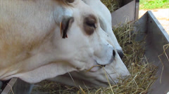 Cow in pasture  Stock Footage