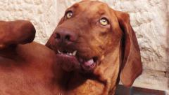 Scary Vizsla dog teeth Stock Footage