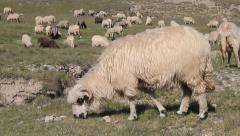 Sheep, Ovis aries Stock Footage