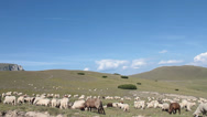 Stock Video Footage of Sheeps grazing on mountain pleateau, Ovis aries