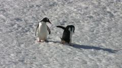 Pair of Gentoo Penguins - stock footage