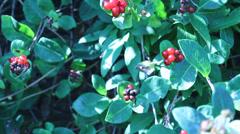 Berry Bush Stock Footage