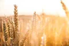 Barley crop Stock Photos