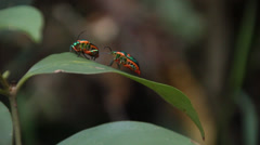 Jewel bugs, Shield Backed Bugs - Family Scutelleridae (4 of 4) Stock Footage