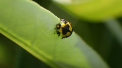 Yellow Spotted Lady Bird Beetle Nymph Stock Footage