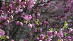 Blooming Prunus triloba var. truncata Kom. in spring, South Korea Stock Footage