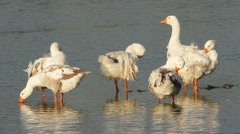 Domestic geese on the waterfront Stock Footage