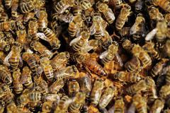 queen bee between worker bees - stock photo