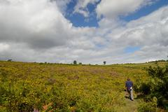heather gorse and blue skies in the ashdown forest.... - stock photo