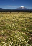 grazing cattle ranch countryside mount adams mountain farmland landscape - stock photo