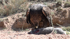 Golden eagle catches rabbit in Central Asian desert Stock Footage