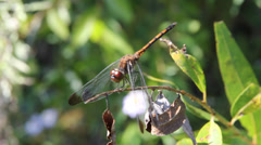 Common  red dragonfly close-up Stock Footage