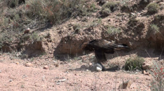 Golden eagle kills a rabbit, animal, prey, struggle, fight, claws - stock footage