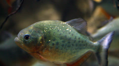 Red Bellied Piranha Stock Footage