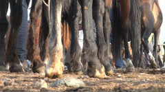 Horse legs at animal bazaar in Kyrgyzstan Stock Footage