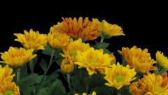 Time-lapse of opening orange chrysanthemum flower buds 1a1 Stock Footage