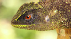 Red-eyed Woodlizard (Enyalioides oshaughnessyi) Stock Footage
