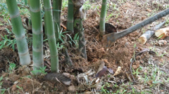 Digging bamboo shoots Stock Footage
