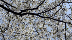 Cherry blossoms in spring, South Korea Stock Footage