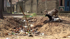 Goats on the village dump Stock Footage