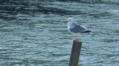 Seagull on a Wooden Mooring Pole - 29,97FPS NTSC Stock Footage