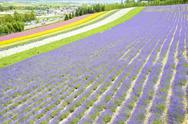 Stock Photo of colorful lavender farm8