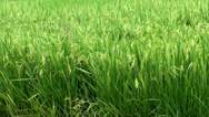 Stock Video Footage of Paddy field
