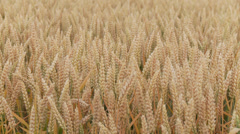 Grainfield Stock Footage