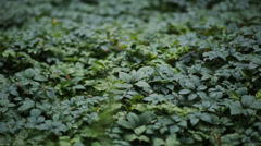 Groundcover Leaves in Forest Stock Footage