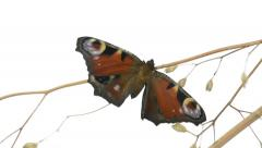European peacock butterfly on a branch and flapping wings Stock Footage