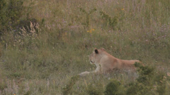 Lions in nature Stock Footage
