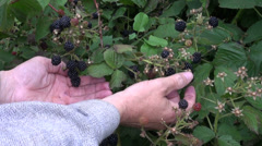Picking fresh blackberry berry from garden bush Stock Footage