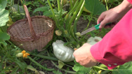 Stock Video Footage of farmer picking fresh pattypan squashes  in garden