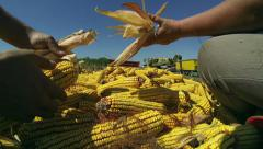 Human Hands Holding Corn After Harvest Stock Footage