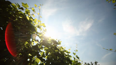 Grapes Stock Footage
