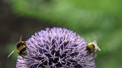 Bee feeds on nectar Globe Thistle (echinops ritro) - extreme close up Stock Footage