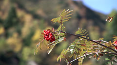 Tree with berrys Stock Footage