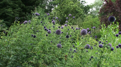 Globe Thistles (echinops ritro) honeybees buzzing - wide shot + pan - stock footage