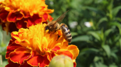Honeybee pollinated of flower Stock Footage