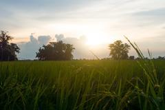 Rice filed at evening Stock Photos